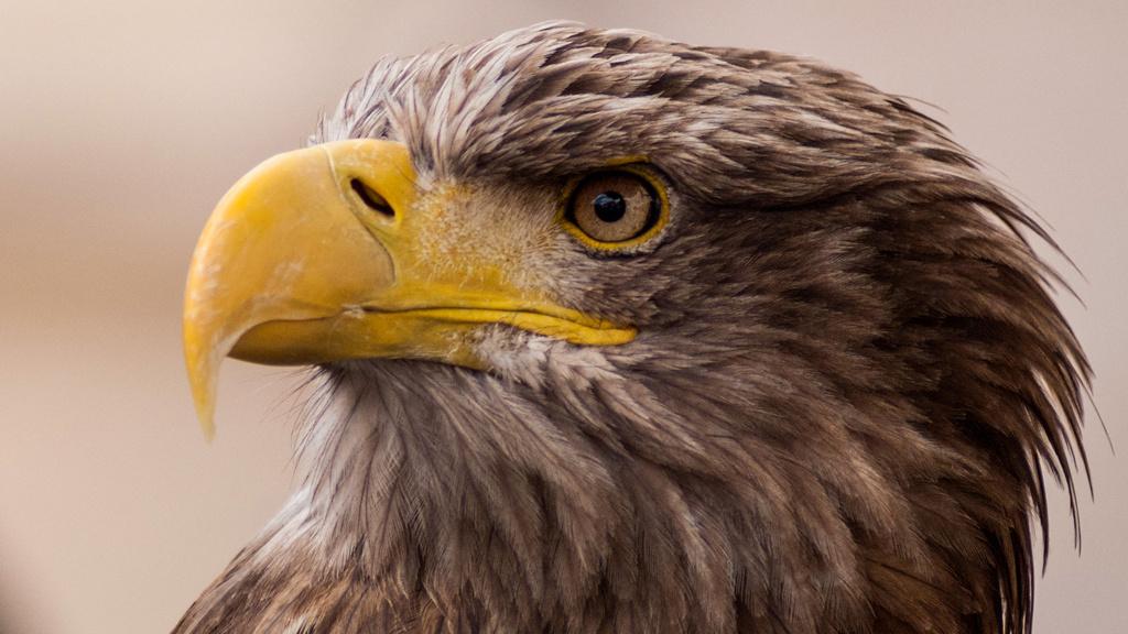 A Slow Odyssey: An Eagle's Flight
